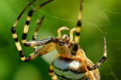 Wasp spider 2 Stock Photos