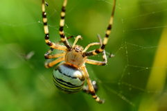 Wasp spider 1 Royalty Free Stock Photo