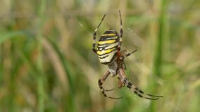 Wasp spider stock video footage