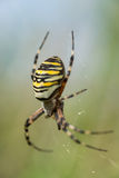 Wasp spider Stock Photography