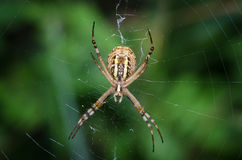 Wasp spider resting on the network Royalty Free Stock Photo