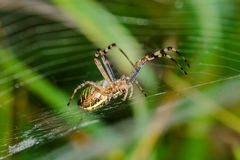 Wasp spider sits at the center of its web. Argiope bruennichi - wasp spider sits at the center of its web Stock Photos