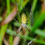 Wasp spider sits at the center of its web. Argiope bruennichi - wasp spider sits at the center of its web Royalty Free Stock Image