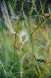 Wasp spider sits at the center of its web. Argiope bruennichi - wasp spider sits at the center of its web - stabilimentume, which is covered with drops of Royalty Free Stock Photo