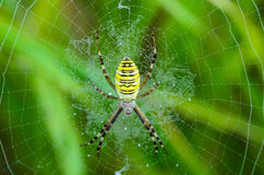 Wasp spider sits at the center of its web. Argiope bruennichi - wasp spider sits at the center of its web - stabilimentume, which is covered with drops of Royalty Free Stock Image