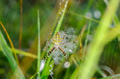 Wasp spider sits at the center of its web. Argiope bruennichi - wasp spider sits at the center of its web - stabilimentume, which is covered with drops of Stock Image