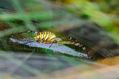 Wasp spider sits at the center of its web. Argiope bruennichi - wasp spider sits at the center of its web - stabilimentume, which is covered with drops of Royalty Free Stock Images