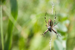 Wasp spider sitting on a web green background Stock Image