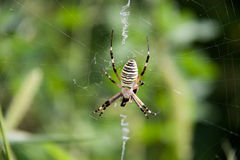 Wasp spider sitting on a web green background Royalty Free Stock Image