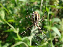 Wasp spider sitting on a web green background Stock Photo