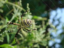 Wasp spider sitting on a web green background Stock Photography
