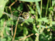 Wasp spider sitting on a web green background Royalty Free Stock Photography