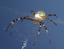Wasp spider on sky. A wasp spider with the sky on background Royalty Free Stock Image