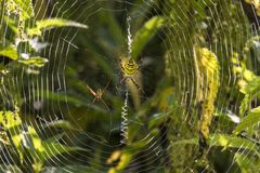 Wasp Spider, Spider, Zebraspinne Royalty Free Stock Image