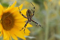Wasp spider Royalty Free Stock Images
