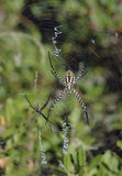 Wasp Spiders Stock Photo