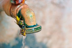 Wasp on spigot Royalty Free Stock Image