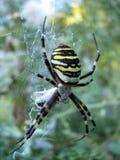 Wasp spindel Arkivfoto
