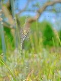 Wasp spindel Arkivfoton