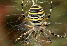 Wasp spindel Fotografering för Bildbyråer