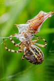 Wasp spindel Arkivbilder