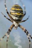 Wasp spindel Royaltyfri Fotografi