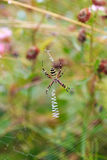 Wasp spindel - Argiopebruennichi på hans rengöringsduk Arkivfoton