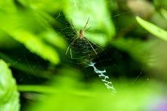 Wasp spindel, manlig spindel i dess rengöringsduk Fotografering för Bildbyråer