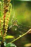 Wasp spindel på det gröna fältet Fotografering för Bildbyråer