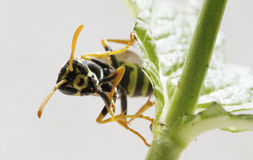Wasp 011 Royalty Free Stock Images