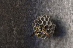 Wasp nest. A wasp starting a new nest in a wall royalty free stock image