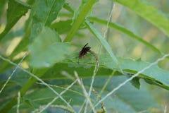 Wasp Stinger Arkivfoton