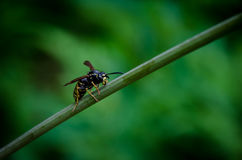 Wasp On A Straw Royalty Free Stock Photography