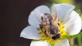 Wasp on strawberry flower stock video footage
