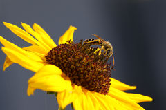 Wasp on a sunflower Royalty Free Stock Image