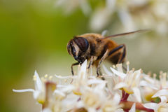 Wasp on sweetspire flower. Stock Image