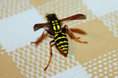 Wasp on the table stock image