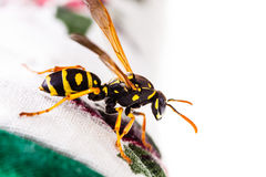 Wasp on tablecloth Stock Photo
