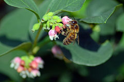 Wasp taking pollen from a snowberry flower head Royalty Free Stock Photos