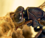 Wasp tending eggs Stock Image