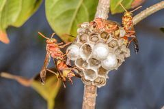 Wasp and their building Royalty Free Stock Image