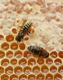 Wasp-thief Stock Image