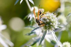 Wasp on a Thistle Flower. Wasp Vespula on an Eryngium campestre flower, under the warm summer sun. Kiev, Ukraine Royalty Free Stock Photography