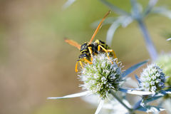 Wasp on a Thistle Flower Stock Images