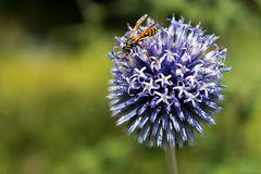 Wasp on the thistle Stock Image