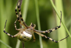 Wasp-Tiger Spider Stock Photography