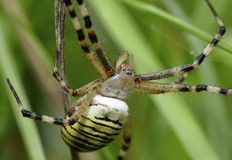 Wasp-Tiger Spider Stock Images