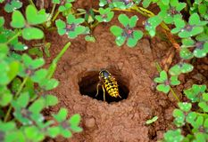 Wasp about to enter in the underground nest Royalty Free Stock Photography