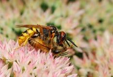 Wasp attacking bee. Stock Image