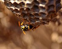 Wasp under  the nest Stock Image